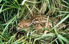 """Now playing: """"Invasion of the Baby Snatchers"""" - When NOT to """"Rescue"""" a Wild Animal… Young animals are often left alone for hours while their parents gather food. They are being tended by their parents in ways best for their survival and appropriate for that species, ensuring that they retain natural wild behaviors. It is normal and typical for a deer fawn to be left alone hiding in a bed. It is also common for young birds to leave the nest before they are fully feathered or flight-ready…"""