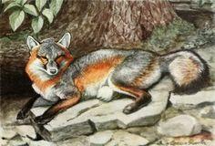 Fuertes, Louis Agassiz (1874-1927) - Burgess Animal Book for Children 1920 (Grey Fox). #vintage, #animals, #fox