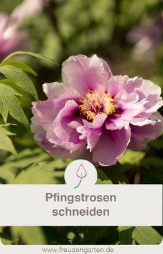 Die 239 Besten Bilder Von Paonien Flower Beds Beautiful Flowers