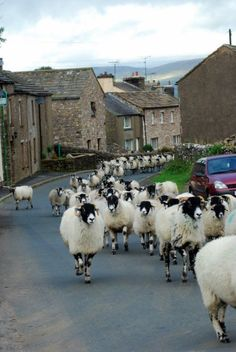 a flock of sheep traveling through the village of yorkshire dales, england