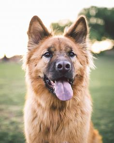 "German shepherd/Chow mix ""Roger"" 