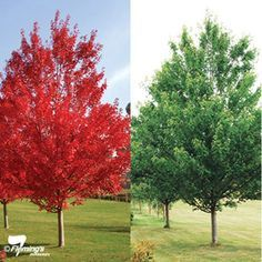 "Image result for ""October Glory"" red maple tree- fast growing; has red flowers prior to green leaves in spring"