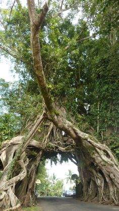 big tree close 2 #medewisurfhomestay