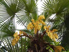 Palmier chanvre (Trachycarpus fortunei) ou palmier de Chine : plantation…