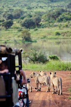 Pilanesberg National Park Safari - an Amazing Day Trip from Johannesburg South Africa // http://localadventurer.com