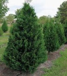 Is Leyland Cypress still the tree to plant? Plant the new cultivar  Murray instead. Faster growing, disease resistant, dark green, 8-10' wide and 25-30' tall.