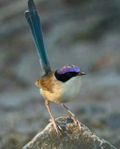 Maluro coronado (Malurus coronatus). Es un ave paseriforme de la familia Maluridae endémica del norte de Australia.