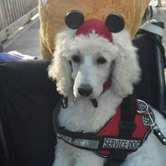 Kody started his training at Disney World at 9 weeks old. This is Kody waiting for the parade at Universal Studios! Navy Blue Suit, The Perfect Dog, Standard Poodles, Happy Boy, Service Dogs, Universal Studios, Animals Beautiful, My Best Friend, Puppy Love