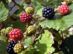 Blackberry Bramble, Flora, Geraniums, Organic Gardening, Beautiful Gardens, Natural, Berries, Food And Drink, Gypsy Girls