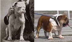 Then and Now ...or , how breeding purely for dog shows destroyed working breed.