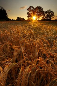Barley Sunset {Explored}   Flickr - Photo Sharing!