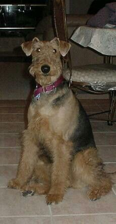 Airedale Terrier.  (Abby)