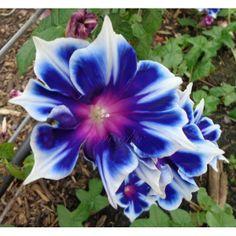 Morning Glory 'Kikyo Snowflake' this flower! Gorgeous!