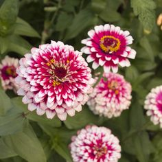 Hidden Dragon Zinnia 24 inches Tall, 3 inch blooms plant 12 inches apart,
