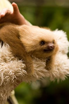 funkysafari:    Random facts: Sloths only poop once a week and have very bad eyesight. Their very soft hair grows in all directions because they are upwards as much as downwards.  byasirap