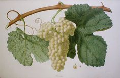 Marsanne from 'Ampélographie française', by Victor Rendu. Paris, 1857. Ampelographies describe and often illustrate grape varieties. The hand-coloured lithographs of Eugene Grobon make this book possibly the most prized of the great ampelographies of the nineteenth and early twentieth centuries.