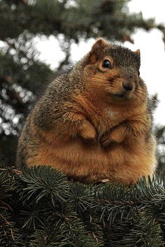 fat boy  He LOOKS just like one of the squirrels I feed in my back yard.  We call him CHUBS. His fat white belly hangs over his feet when he's sitting there eating a nut!
