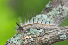 Hairy caterpillar image taken in the Kruger National Park Macro Photography, Wildlife Photography, Kruger National Park, National Parks, Worm Images, Scorpion Image, Great Photos, Cool Pictures, Huntsman Spider