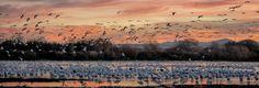 bosque-geese