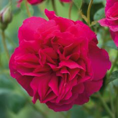 The absolutely jaw-dropping Thomas a Becket from David Austen Roses