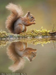 Red squirrel at a woodland pool, feeding on nut, in Scotland. Egern. Animal, wild, water, cute, nuttet, fluffy, precious, reflections, beauty of Nature, photo