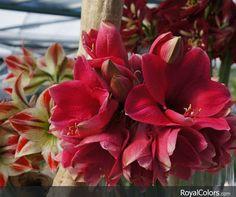 Happy Amaryllis Tuesday!  #Amaryllis   #Hippeastrum   #royalcolors #Floral #Flower #Bloom #Beautiful #Amazing #bulbs #keukenhof #Netherlands   #амариллис   #アマリリス   #孤挺花   #amarilis  royalcolors.com  #flowers