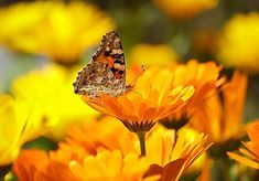Calendula - The Permaculture Research Institute Calendula, Ficus Elastica, Media Sombra, Lantana Camara, Flower Meanings, Marigold Flower, Butterfly Wallpaper, Butterfly Images, Pink Butterfly