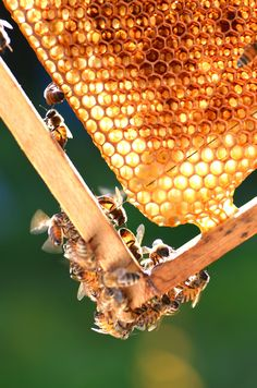 Tips for Starting Beekeeping Starting beekeeping successfully requires knowledge of how to house and feed your bees for maximum return.Starting beekeeping successfully requires knowledge of how to house and feed your bees for maximum return.