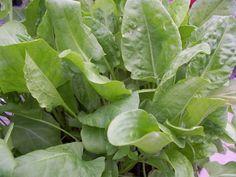 sorrel - 20 Perennial Vegetables to Plant Once and Enjoy Forever!