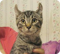 Today's Five O'Clock Cuteness is Captain Kirk, a 6 month old kitten available for adoption in Saint John, Indiana. Captain Kirk is an American Curl cat. We think his ears are such a unique and handsome feature on this boy. What do you think? Kirk is a loving and friendly feline who would adore a nice warm lap to curl up in. For more on Captain Kirk, please visit his Adopt-a-Pet.com profile: http://www.adoptapet.com/pet/9918777-saint-john-indiana-kitten