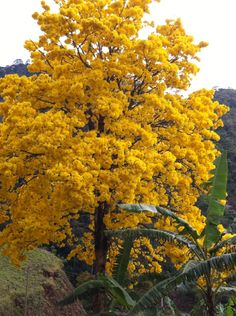 Ypê Unique Trees, Colorful Trees, Belleza Natural, Fall Photos, Blossom Flower, Topiary, Yellow Flowers, Beautiful Landscapes, Shrubs