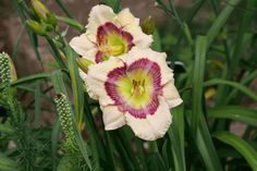 """'Stenciled Impressions' Stamile, 2002.  SOLD OUT 4/11/15 $10 TC.  height 24"""", bloom 4.25"""", season EE, Rebloom, Dormant, Tetraploid, Fragrant, 45 buds, 5 branches, Cream with mauve rose multi eyed pattern above green throat. Great pattern on this extra early bloomer. Very good performer here."""
