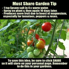 1tsp Epsom Salt in 4 cups warm water. - Spray on plant & then again in 10 Days. - Produces more fruit due to boost of magnesium. Especially for tomatoes, peppers and roses