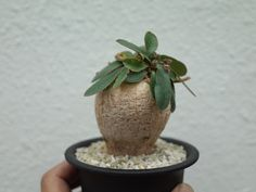 Euphorbia subapoda ユーフォルビア スバポーダ