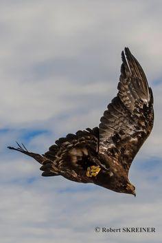 Golden Eagle  (Aquila chrysaetos) - via  Robert SKREINER Golden Eagle, Birds Of Prey, Flocking, Bird Feathers, Beautiful Birds, Bald Eagle, Places To Visit, Wildlife, Falcons