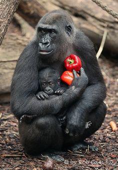 Gorillas Shira  Tandu