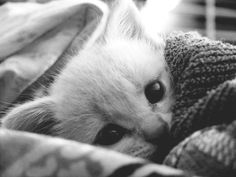 A black and white kitten wrapped in blankets.