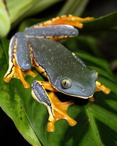 Splendid Leaf Frog(Cruziohyla calcarifer)Photographed by Brad Wilson at Atlanta Botanical Garden, Captive born animal from Madison Zoo, WI Funny Frogs, Cute Frogs, Beautiful Creatures, Animals Beautiful, Cute Animals, Geckos, Atlanta Botanical Garden, Botanical Gardens, Amazing Frog