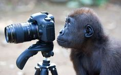"""ZSL Animal Photography Prize 2012, Category 1, PERFECT MOMENT:  'Monkey Snapper' - photo by Lucy Ray.    ...""""Chickaboo is a curious baby gorilla. She was fascinated by the camera and although she looks as though is taking a picture, she is actually looking at her reflection in the back of the screen.""""   - London Zoo"""