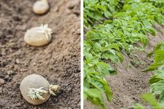 Plantation de pomme de terre en rang