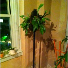 Update: May 9th 2012. The Staghorn seems to be quite happy. Before I go to bed, I put the entire coatrack into the shower once a week and spray it for several minutes then let it drip dry over night.