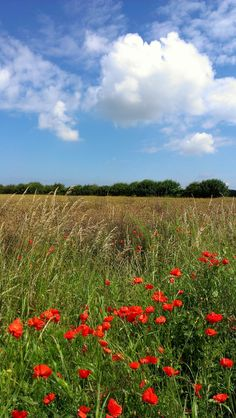 Poppies on a field edge in North Norfolk England