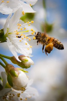 bee loaded with pollen + blossom