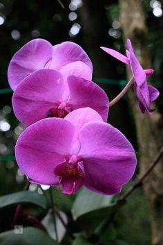 Purple orchids, Sepilok, Sabah, Borneo, Malaysia