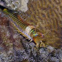 Bristleworms (Polychaeta) on the Shores of Singapore