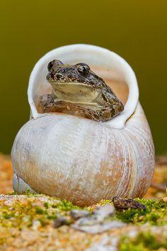 ~~Sapillo Moteado ~ Parsley Frog comes out of its shell :-) by Alejiga (Alejandro Jimenez)~~