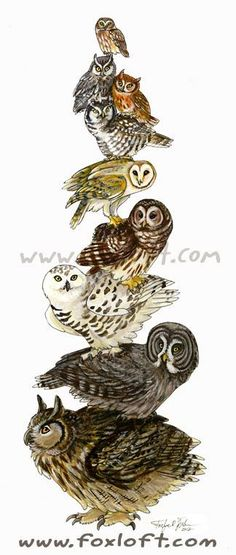 Bird Stack - Saw-whet owl, gray and rufous morph screech owls, hawk owl, barn owl, barred owl, snowy owl, great grey owl, and eagle owl; birds of the order strigiformes!