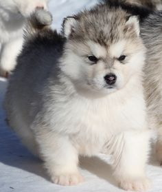 White Wolf : 15 Chubby Alaskan Malamute Puppies That Will Make You Smile Husky Puppies For Sale, Fluffy Puppies, Husky Puppy, Cute Puppies, Cute Dogs, Dogs And Puppies, Doggies, Fluffy Husky, Giant Alaskan Malamute
