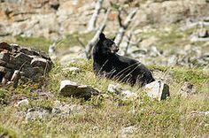 Looking Back - Black Bear
