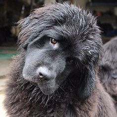 Event Eyes Network providing all pets photos like dogs, cats horses Big Dogs, Large Dogs, I Love Dogs, Cute Dogs, Dogs And Puppies, Doggies, Animals And Pets, Cute Animals, Terra Nova
